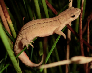 Smooth newts in rushes at night.