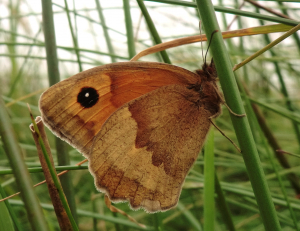 Meadow Brown.