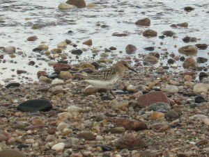 Little Stint?