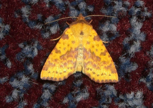 Pink Barred Sallow
