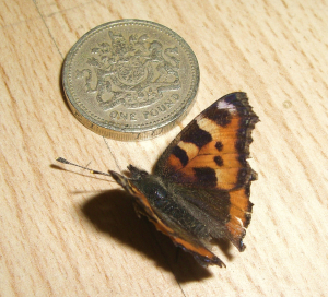 Really small Small Tortoiseshell.