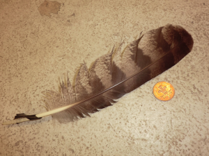 Owl feather?
