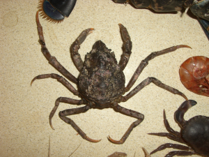 Spider Crab (Sea Toad.)