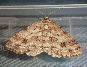 The Engrailed.