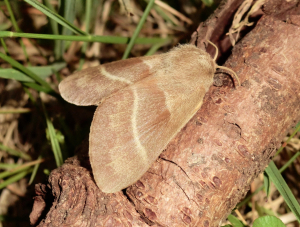 Female Fox Moth.