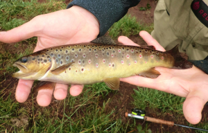 Brown Trout containing immature flounders.