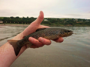 Marine brown trout.