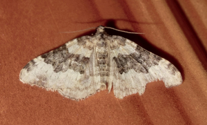 Worn Galium Carpet