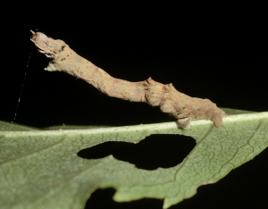 Early Thorn larva.