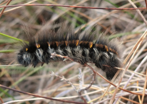 Fox moth larva.