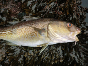 Winter Codling