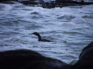 Hunting Shag...soon to be a Cormorant!?