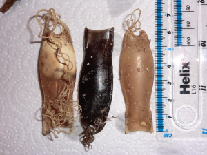 Lesser Spotted Dogfish egg cases.