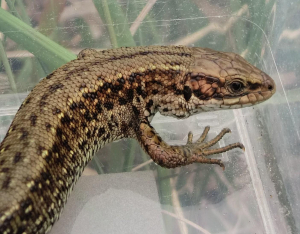 Common lizard, male.