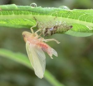 Newly hatched large froghopper/spittlebug