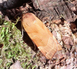 Broad-bordered