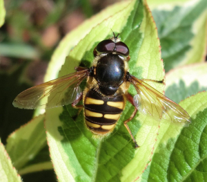 Large hoverfly