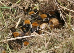 Common Carder nest