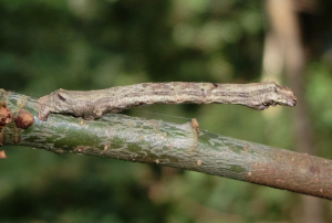 Possible Scalloped Oak Larva on Oak.