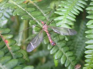 Crane fly for ID