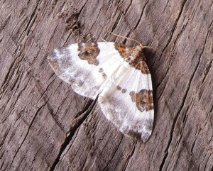 Blue-bordered Carpet