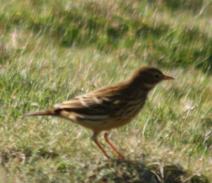 rock pipit maybe