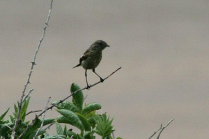 Unidentified bird at Stackpole, Pembrokeshire