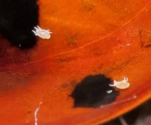 Acari (Mite) on 7 Spot Ladybird