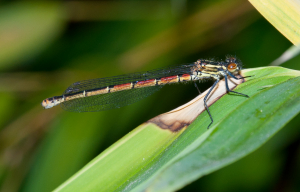 Large Red Damselfly - female