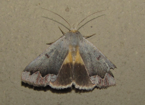 Medium grey/green moth