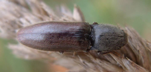 Hairy Click Beetle
