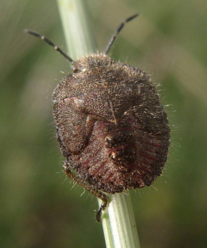 Late instar