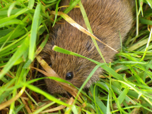 Vole in the open