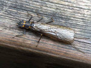 Anyone for a Stonefly?