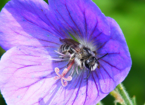 Solitary bee for ID