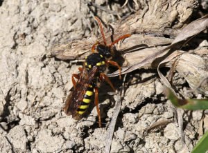Nomada (Solitary Bee) - Which one?