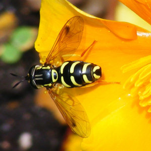 Chrysotoxum Hoverfly for ID