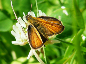 Small or large skipper?