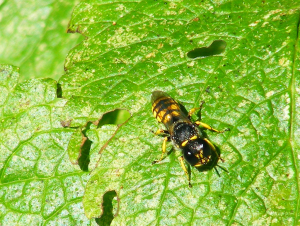 Solitary wasp for ID