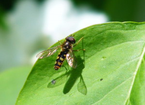 Hoverfly syrphidae family? Help needed with species