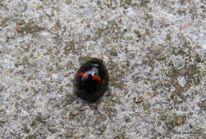 Black Ladybird red spots