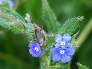Soldier Beetle - red legs for ID