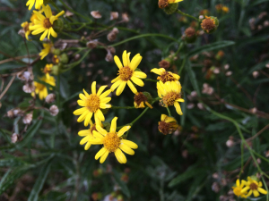 Unknown yellow daisy
