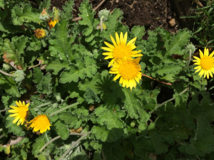 Unknown yellow daisy/asteraceae