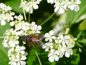 Fly on Cow Parsley