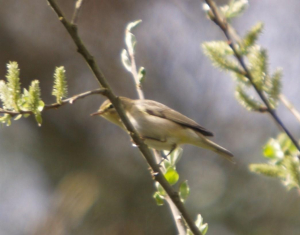 Warbler, in a willow tree - could it be this simple?