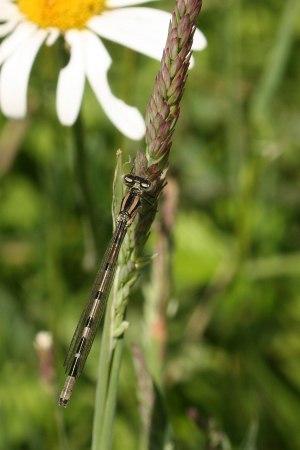 Common Blue Damselfly (teneral male?)