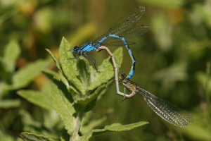 Common Blue (mating wheel)