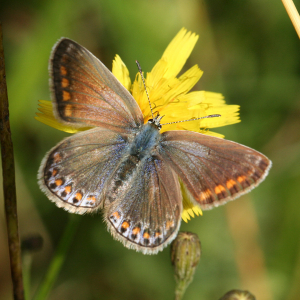 Common Blue (Female)