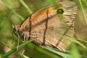 Meadow Brown in Garden